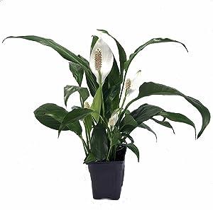Zen Peace Lily Plant - Spathyphyllium - Great House Plant - 4
