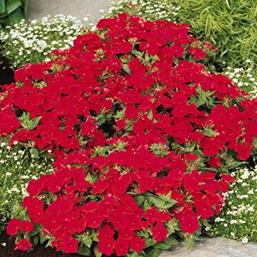 Outsidepride Phlox Scarlet - 5000 Seeds