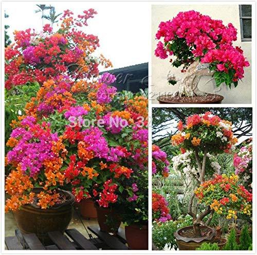 Shopmeeko 100 Piezas Coloridas Plantas de buganvilla Balcã³n Maceta * Jardãn Flores Plantas En Bonsai Florífero Hardy Planta Ãrbol Sementas: Blanco