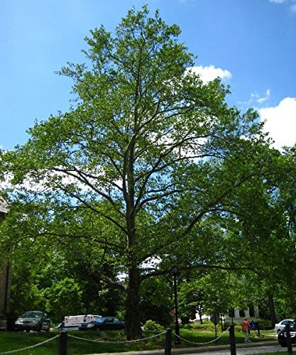 500 amerikanische Platane-Baum-Samen, Platanus occidentalis
