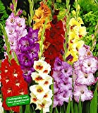 BALDUR-Garten Gladiolen-Mischung, 50 Zwiebeln Gladiolus Mix