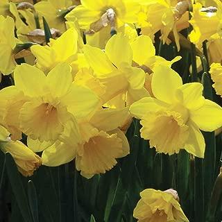 Burpee Trumpet Daffodil - 150 Flower Bulbs | Yellow