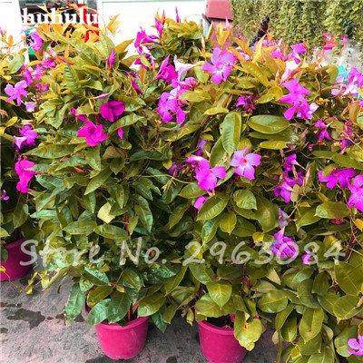 50 PC/bag Rare Dipladenia sanderi Samen Stauden Kletter Mandevilla sanderi Blumen im Freien Zier Bonsai Gartenpflanze 17