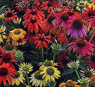 Pack x3 Double Echinacea Guava Ice® Perennial XXL Supersize Plug Plants