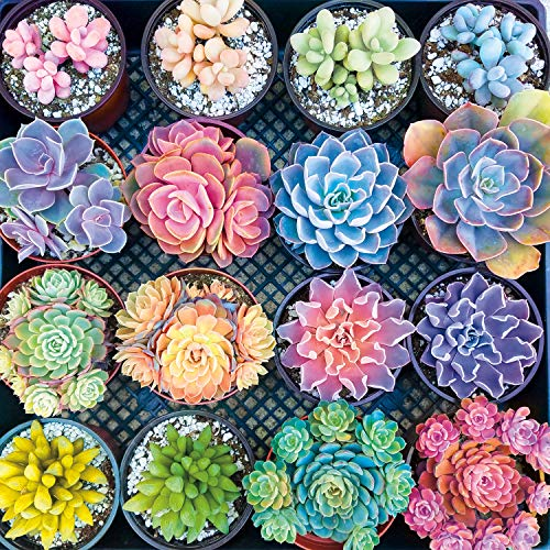 Buffalo Games - Photography - Sweet Succulents - 300 Large Piece Jigsaw Puzzle