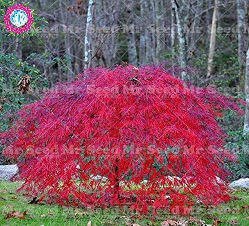 ShopMeeko Semillas: 10pcs raras llorando planta de árbol japonesa especies de árboles de jardín s de plantas: 2: Amazon.es: Jardín