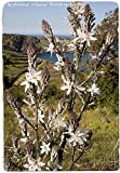La quantità del pacchetto è 37424 Vendiamo solo semi Semi ad alto tasso di germinazione La restituzione della merce non è disponibile Ramosus 'Branching Asfodelo' [Es. Oia, Sardegna] 45 Seeds