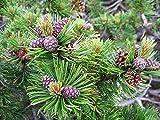 Bergkiefer Pinus mugo pumilio Pflanze 15-20cm Latschenkiefer Zwergkiefer Rarität