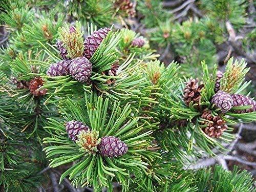 Bergkiefer Pinus mugo pumilio Pflanze 5-10cm Latschenkiefer Zwergkiefer Rarität