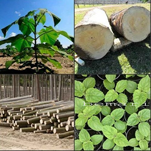 Paulownia elongata 100+ frische Samen Geschenk ROYAL schnellwachsender Baum