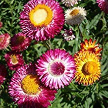 Straw Flower Everlasting Mix Colorful Helichrysum Rose Seeds 30+ bracteatum Straw Flower for Home Yard and Garden Planting