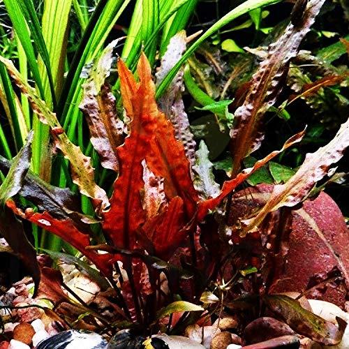 Mainam Cryptocoryne Wendtii Red Rooted Pot Freshwater Live Aquarium Plants Decoration