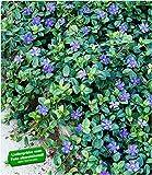 BALDUR Garten Winterharter Bodendecker Vinca Minor 'Blau', 3 Pflanzen, Immergrün
