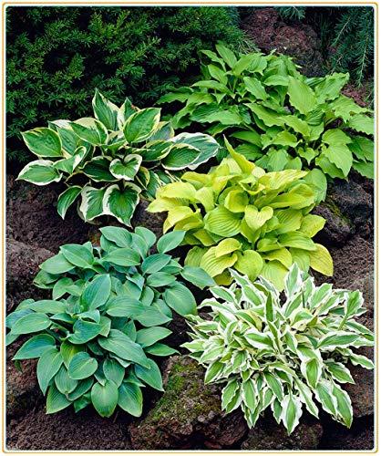 Funkien pflanze winterhart,Jadelilie, eine mehrjährige grüne Pflanze, eine ideale Pflanze zum Begrünen und Verschönern und Reinigen der Umwelt, Verpackung gemischter Sorten-5Rhizome