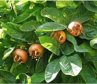 10 Seeds Showy Medlar Mespilus Germanica Tree Seeds TS2