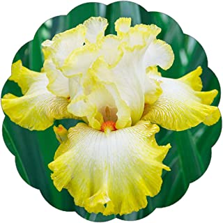 Stargazer Perennials Reblooming Bearded Iris Bulb - Zesting Lemons 1 Large Rhizome - Fragrant Yellow and White Flowers Easy to Grow Perennial Iris Bulbs for Fall Planting