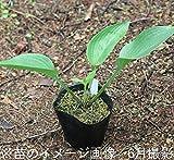 【紫桜館山の花屋】山菜苗:ウルイ[オオバギボウシ] 10.5cmポット苗