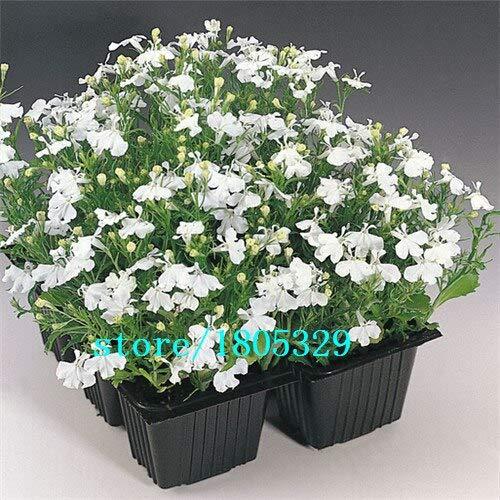 Roxo: Lobelia Erinus Sementes 100 piezas Sementes De Flores Diy Nuevo hogar Jardim Bonsai Cor Da Mistura De Flores Bonitas Frete Gr & Aacute; Tis