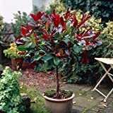 YouGarden Photinia 'Little Red Robin' Standard Tree 1M tall