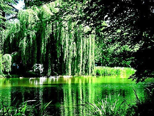 8 Weeping Willow Tree Cuttings - Beautiful Arching Canopy - Grow 8 Golden Weeping Willow Trees