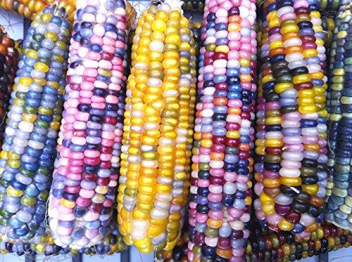 グラスジェムコーンGlass Gem Corn(宝石とうもろこし) (10本)