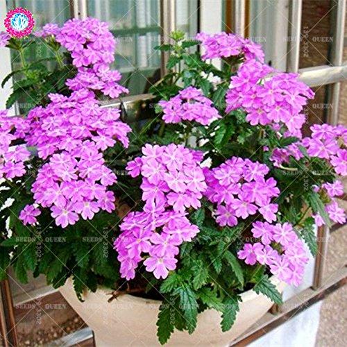 Variété rare! 100 pcs / sac verveine graines plante herbacée hybride vivace en pot Maison et jardin 95% fleurs bonsaï taux de germination 2