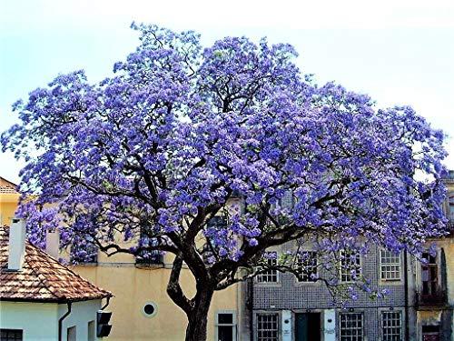 Paulownia Shan Tong Blauglockenbaum im Container Enormer Wuchs Frosthart Orchideenartige Blüten