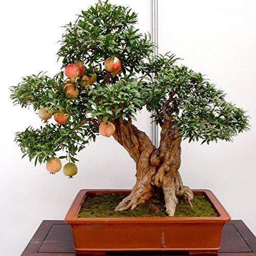 20pcs/lot, graines de grenade bonsaï très doux graines de fruits délicieux, plantes succulentes graines d'arbres pour plante facile de jardin à la maison