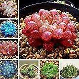 50/100 pcs Semillas Suculentas Haworthia Cooperi Truncata Semillas de Bonsai Plantas Mixtas Exóticas para el Hogar y Jardín Decoración de Oficina (50pcs)