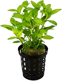 Mainam - Staurogyne Repens Potted Foreground Carpet Freshwater Live Aquarium Plant