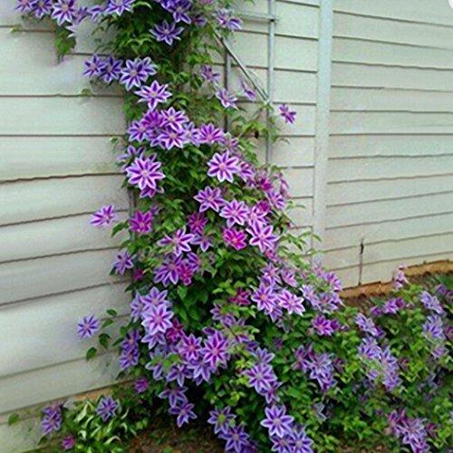 Soteer Garten- 50 pcs Clematis Samen Kletterpflanzen Mehrjährig Zierpflanzen Immergrün für den Garten Blumen Samen Climbing Clematis winterhart