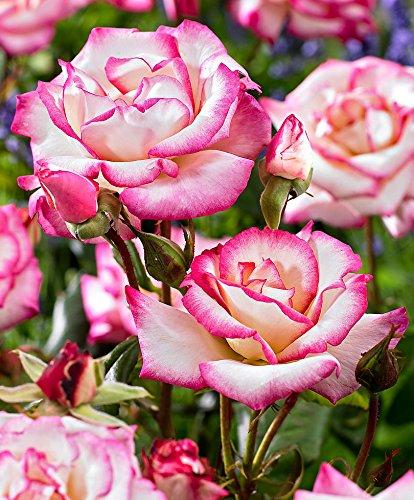Rosaio rampicante 'Macha'-1 confezione da 3-Arbusti