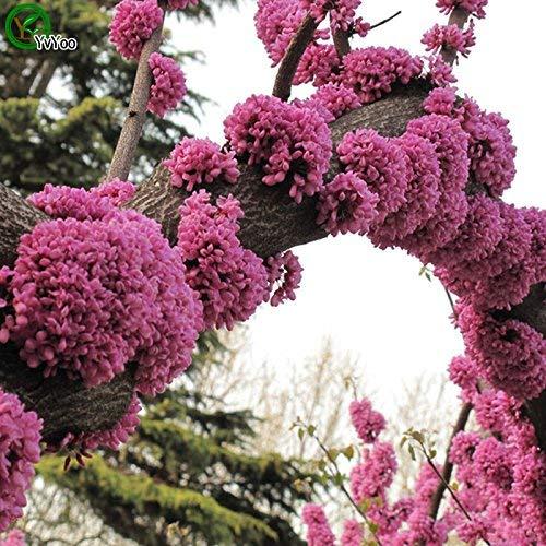 Vente chaude! Très belle Graines Bauhinia Bonsaï Graines très belle plante d'intérieur arbre jardin 30 particules/graines de sac d'espoir