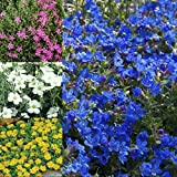 Mixed Rockery Alpine Collection – Vibrant Colourful Outdoor Garden Potted Large Flowering Bed & Border Perennial Plant Alpines Mix in 9cm Pot (6 Plants)