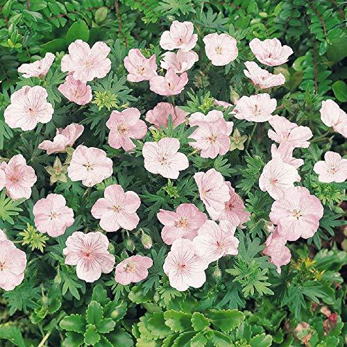 Vistaric 100pcs Rare Mini Geranium Graines Vivaces Belles Fleurs Graines Pelargonium Peltatum Graines disponibles bonsaï en pot mélange couleurs 7