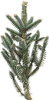 Best golden fir tree Reviews