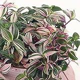 Zoom IMG-2 tradescantia quadricolor colorata pianta sempreverde