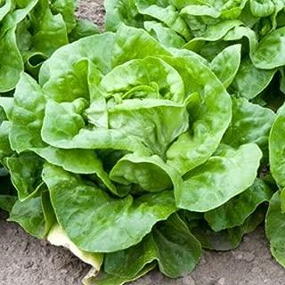 Yummy Fresh Boston White Lettuce 2000 Seeds #NSTY
