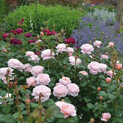 'Queen of Sweden' -R-, Englische Rose (David Austin) in A-Qualität Wurzelware