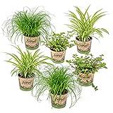 6er Set Haustierverträgliche Zimmerpflanzen | 2x Katzengras, 2x Grünlilie & 2x Kriechende...