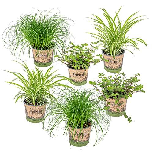 6er Set Haustierverträgliche Zimmerpflanzen | 2x Katzengras, 2x Grünlilie & 2x Kriechende Schönpolster | ⌀12 cm -20-25 cm