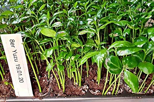 minstens 5 Yuzu citroen jonge planten, citrus junos, C. ichangensis x C. reticulata, tot -15 °C
