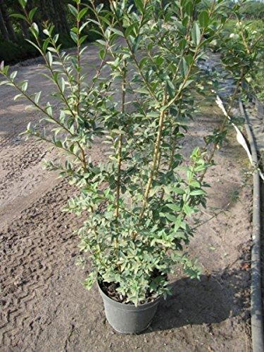 Ligustrum vulgare Atrovirens - Schwarzgrüner Liguster - Gewöhnlicher Liguster - Gemeiner Liguster - Preis nach Größe 100-120 cm