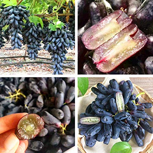 Organic Extremely Rare Dulce Sol Premium Pepper Seeds-D 61 25