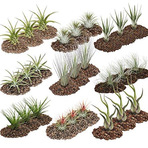 exotenherz - Tillandsien, dekorative Pflanzen - 27er Set mit 9 verschiedenen Sorten