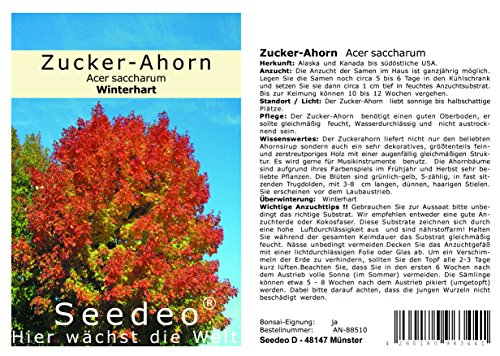 Seedeo® Zucker-Ahorn (Acer saccharum) 30 Samen
