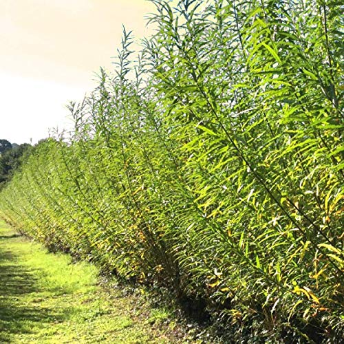 Twigz Nursery 50 Hybrid Willow Tree Plants. Austree grows 12 foot 1st year. Fastest growing tree. Rapid growth shade privacy