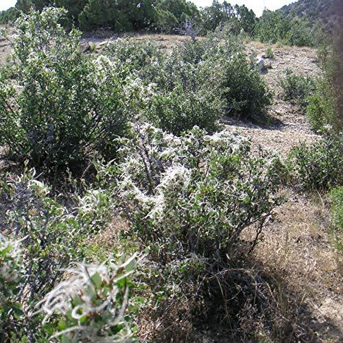 Buch4Land | Mountain Mahogany Cercocarpus Montanus 25 Seeds (Garden, Yard, Home)