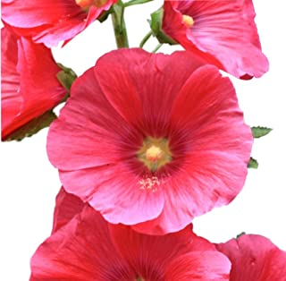 Best echinacea red flower Reviews