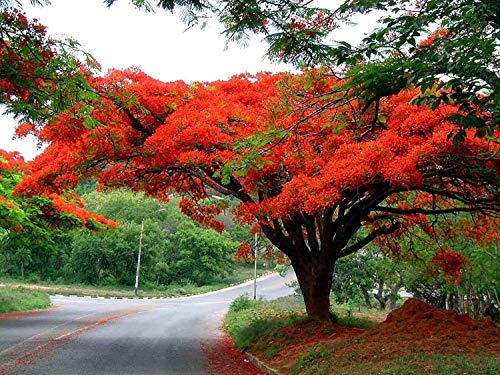 Pinkdose 10 Seeds Delonix regia Flamboyant, Royal Poinciana Ornamental Tree